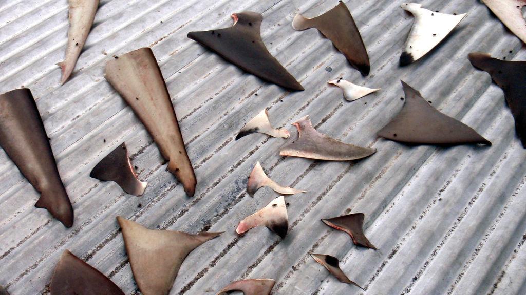 La collecte des ailerons de requins, rare monnaie d'échange pour les villageois, mais pratique regrettable encouragée par la consommation asiatique…